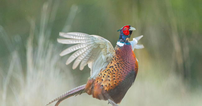 Norfolk Pheasant